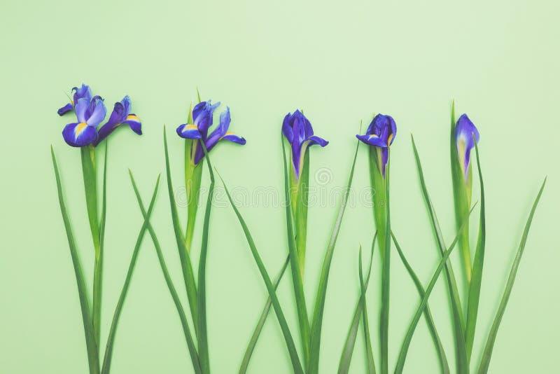 Flores sensuais de narcisos amarelos azuis frescos na luz - espaço verde da cópia da opinião superior do fundo fotografia de stock royalty free