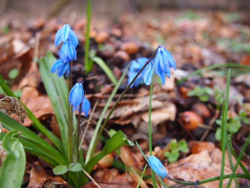 Flores Siberian Berlim do squill, em março de 2019 imagens de stock