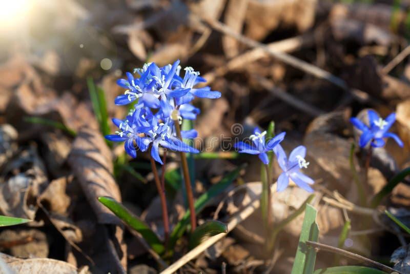 Flores Siberian do azul do squill fotografia de stock royalty free