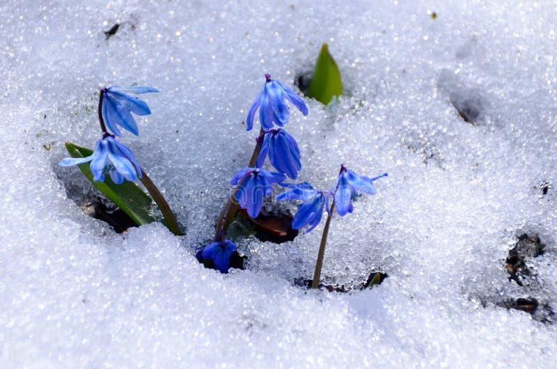 Flores siberianas de la esquila foto de archivo