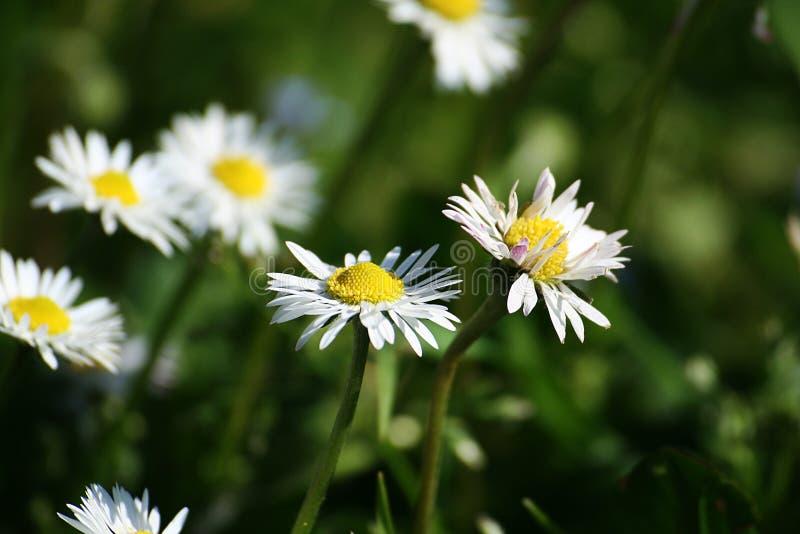 Flores simples da margarida da mola fotografia de stock