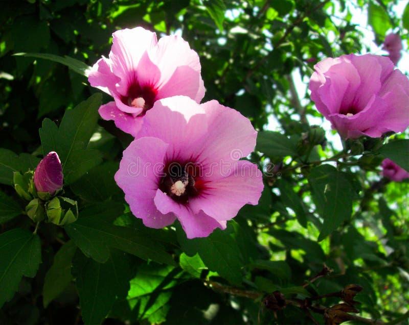 Flores sirias de la malva foto de archivo