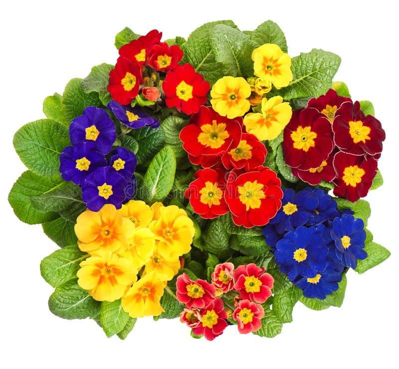 Flores sortidos da prímula isoladas no branco fotografia de stock