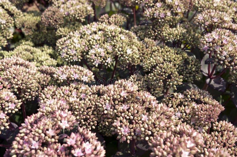 Flores spectabile de Sedum imagen de archivo libre de regalías