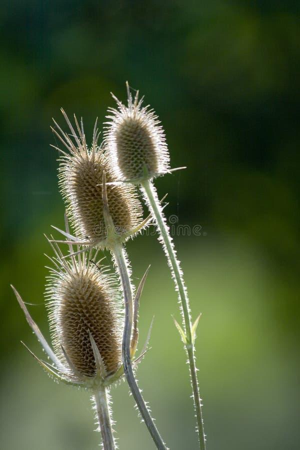 Flores spiky secas fotos de stock