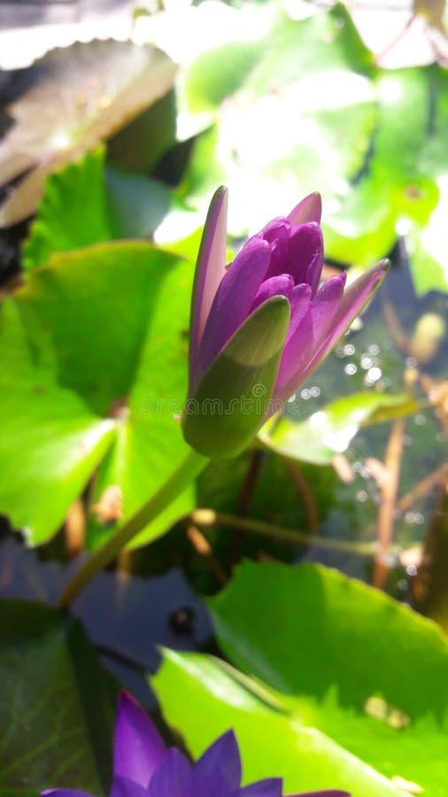 Flores Sri Lanka de Manel do nada fotos de stock