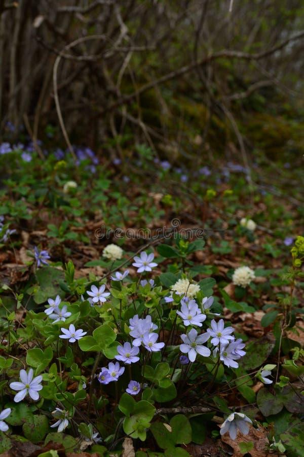 Flores suavemente azules en la sombra de arbustos imágenes de archivo libres de regalías