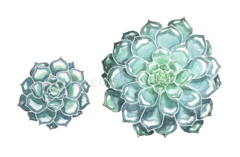 Flores suculentas exhaustas de la mano en el fondo blanco ilustración del vector