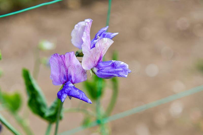 Flores sudadas del guisante Un jardín por completo de las flores para las abejas, las mariposas y otros insectos fotos de archivo libres de regalías