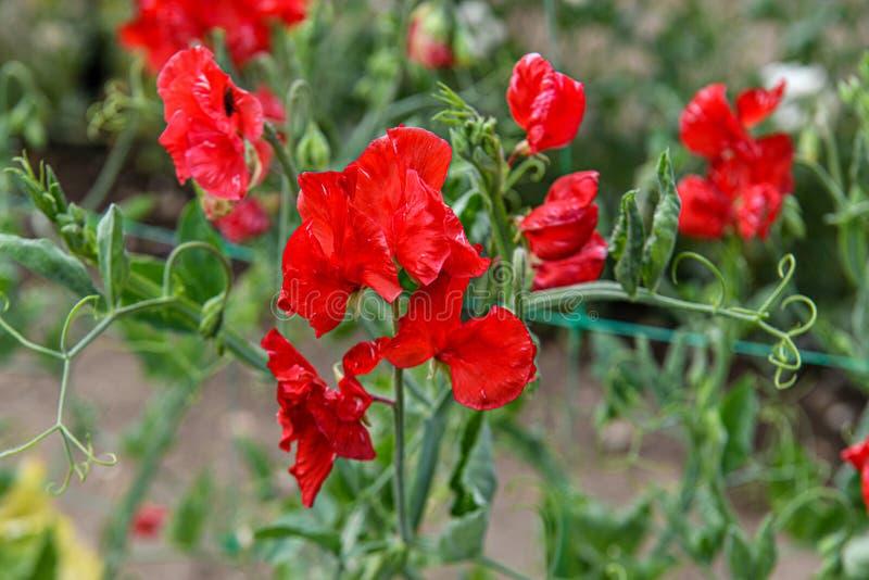 Flores sudadas del guisante Un jardín por completo de las flores para las abejas, las mariposas y otros insectos foto de archivo libre de regalías