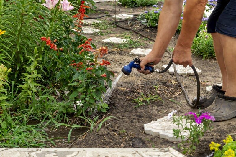 Flores superiores de um lírio molhando do jardineiro em uma cama do jardim para o impulso do crescimento com a arma molhando do c foto de stock