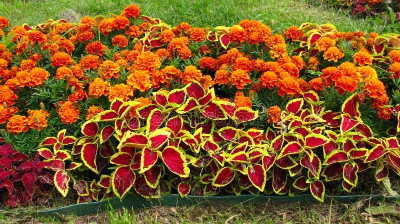 flores Tagetes imagem de stock royalty free