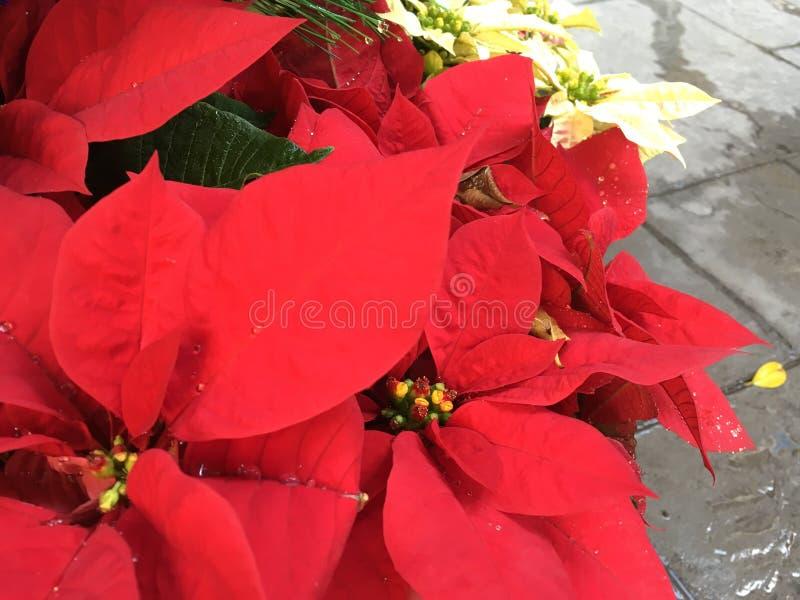 Flores taiwanesas de la Navidad imágenes de archivo libres de regalías