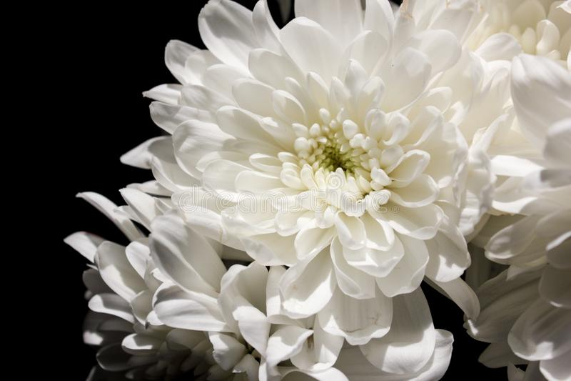Flores Textured, crisântemos Crisântemos em um backg escuro foto de stock