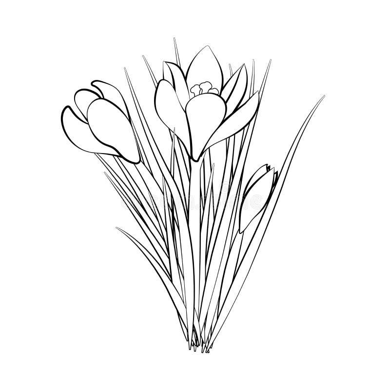 Flores tiradas mão do açafrão Cartão elegante do vintage Açafrão de três brancos com curso preto Ilustração do vetor ilustração royalty free