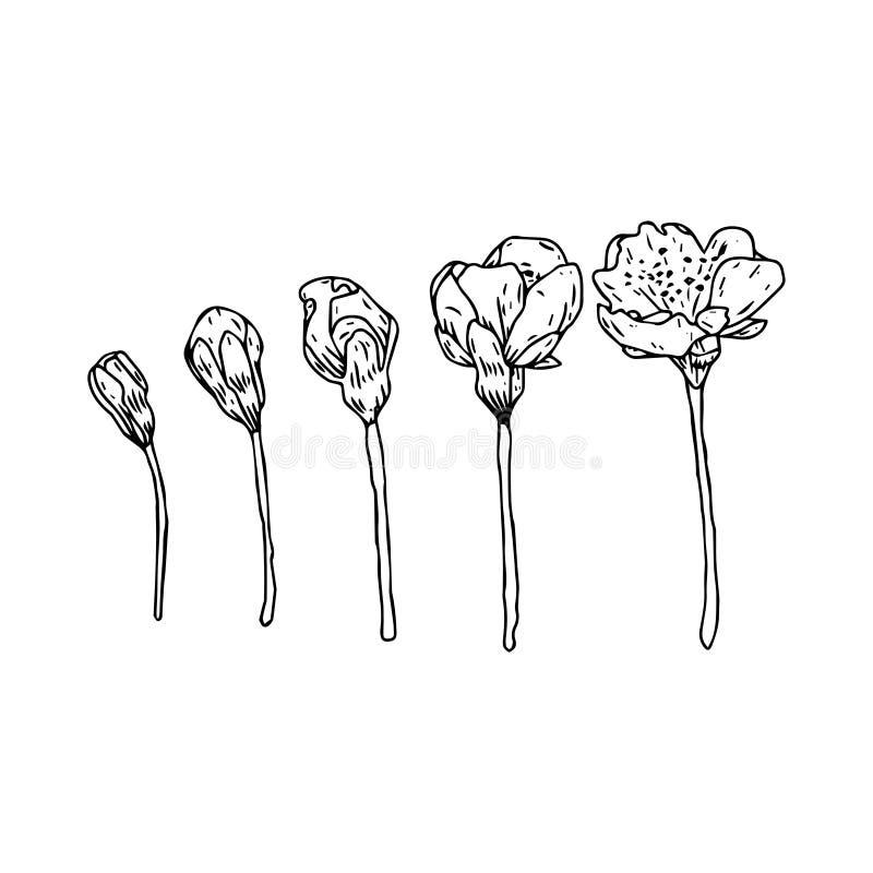 Flores tiradas mão no estilo do vintage Ramos da flor da mola Arte gravada linear Isolado no fundo branco ilustração do vetor