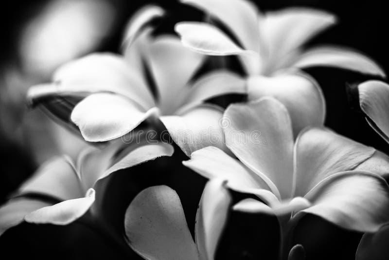 Flores traseiras e brancas imagem de stock