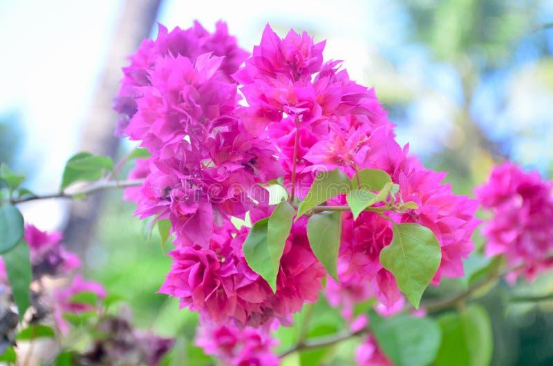 Flores tropicais da Ásia lindas vermelhas foto de stock