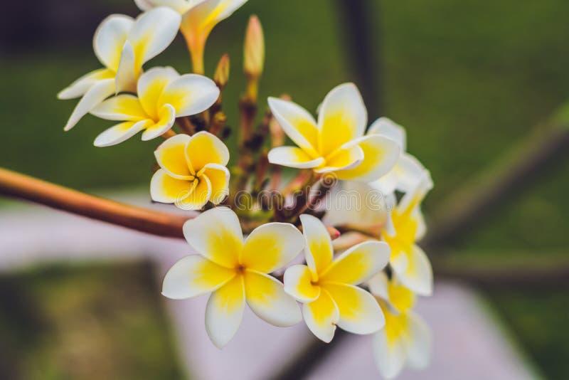Flores tropicais do Frangipani da árvore deciduous, plumeria imagem de stock