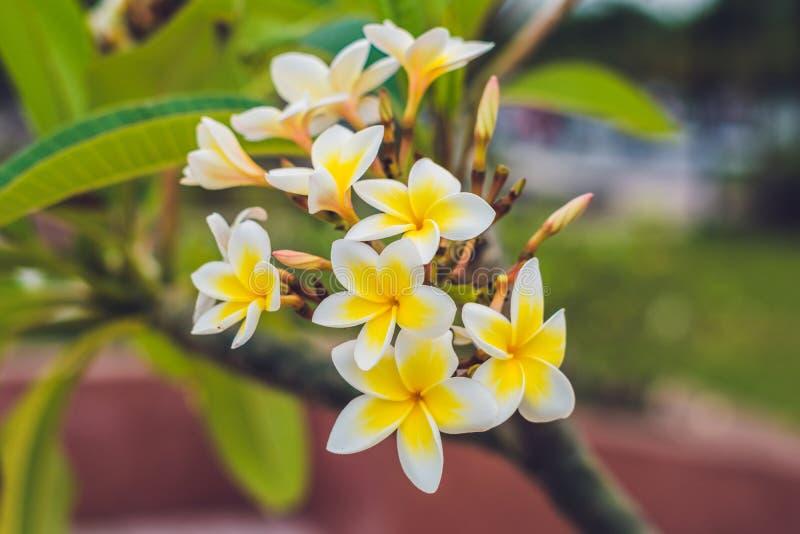 Flores tropicais do Frangipani da árvore deciduous, plumeria fotos de stock royalty free