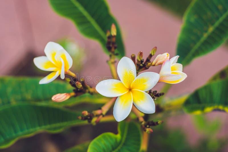 Flores tropicais do Frangipani da árvore deciduous, plumeria imagem de stock royalty free