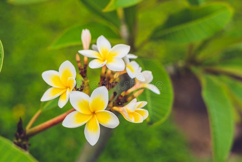 Flores tropicais do Frangipani da árvore deciduous, plumeria imagens de stock royalty free