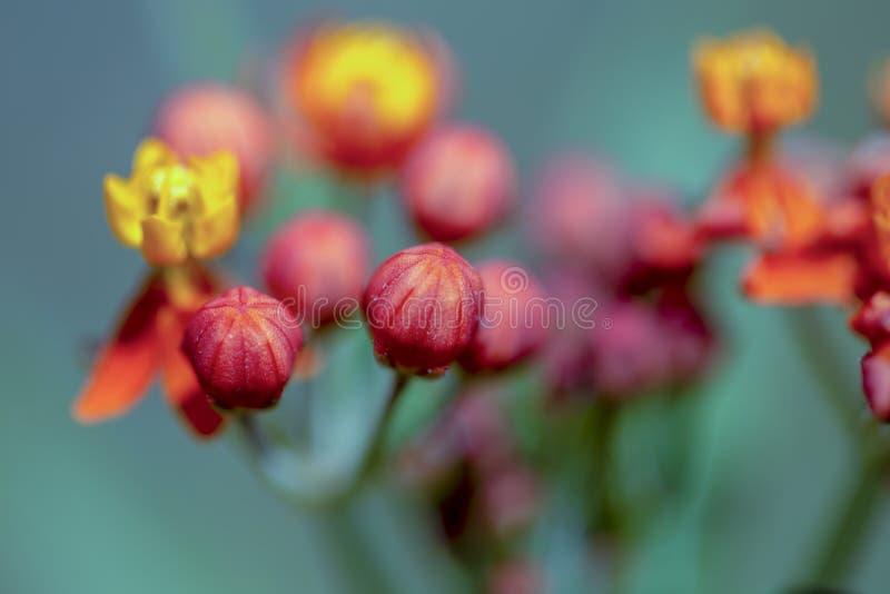 Flores tropicais vermelhas e amarelas do milkweed fotos de stock