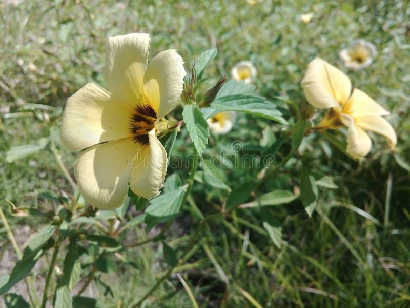 Flores tropicales amarillas en el jard?n foto de archivo libre de regalías