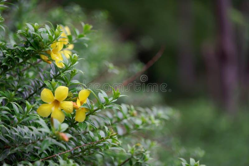 Flores tropicales amarillas, Vietnam fotografía de archivo