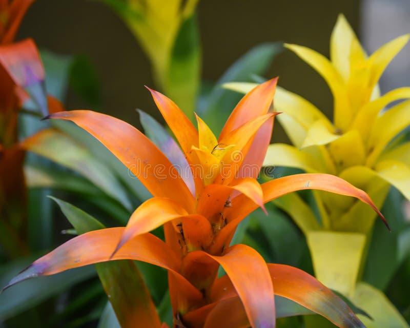 Flores tropicales anaranjadas y amarillas foto de archivo