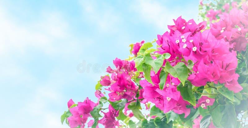 Flores tropicales de la buganvilla aisladas en fondo azul con la ilustración suave blanca imagenes de archivo