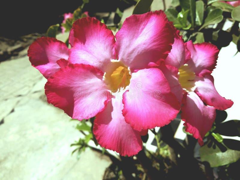 Flores tropicales del Adenium rojo imagenes de archivo