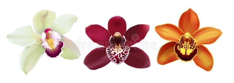 Flores tropicales del Cymbidium de la orquídea - vector stock de ilustración