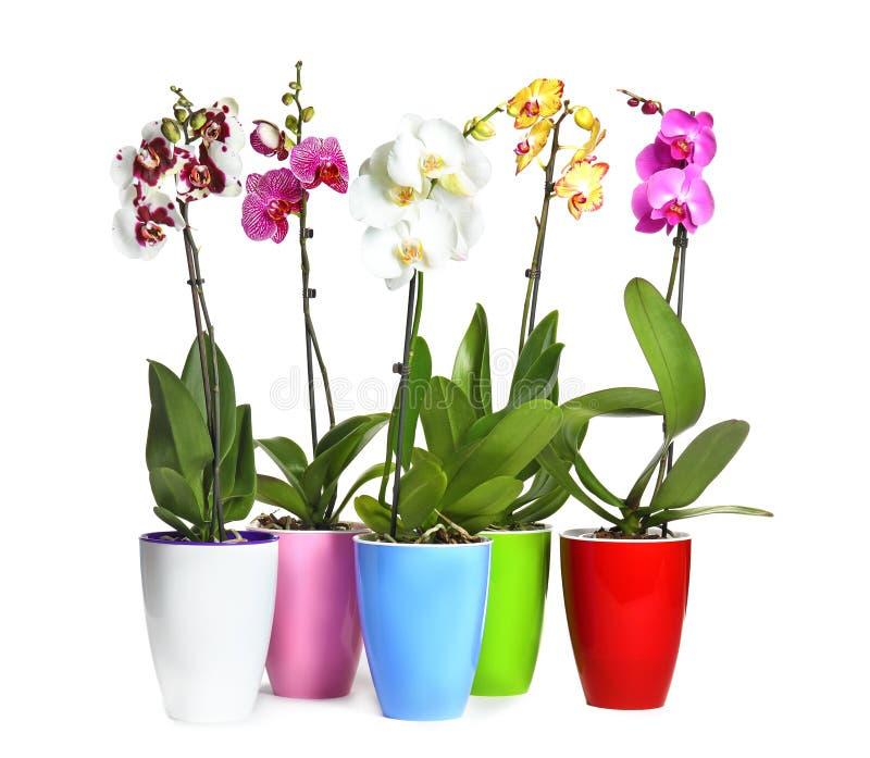 Flores tropicales hermosas de la orquídea en potes en el fondo blanco fotografía de archivo