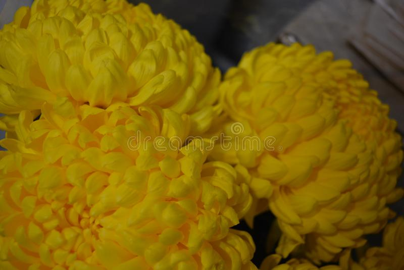 Flores ucranianas do outono bonito, botões amarelos do crisântemo com as grandes e inflorescência amarelas divertidas, flowe kaly fotos de stock royalty free