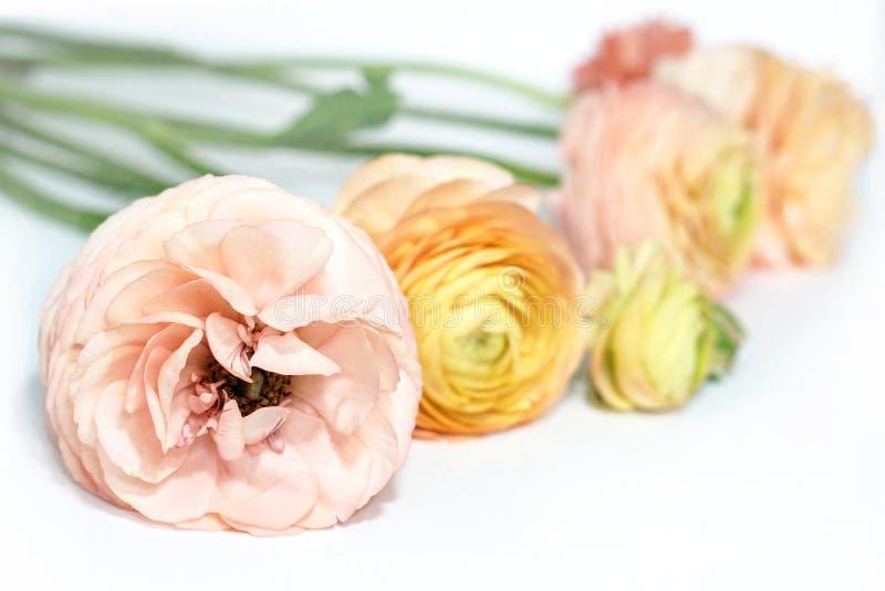 Flores verdes cor-de-rosa amarelas do ranúnculo na superfície branca Fundo floral imagens de stock royalty free
