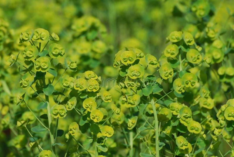 Flores verdes de florescência do eufórbio foto de stock