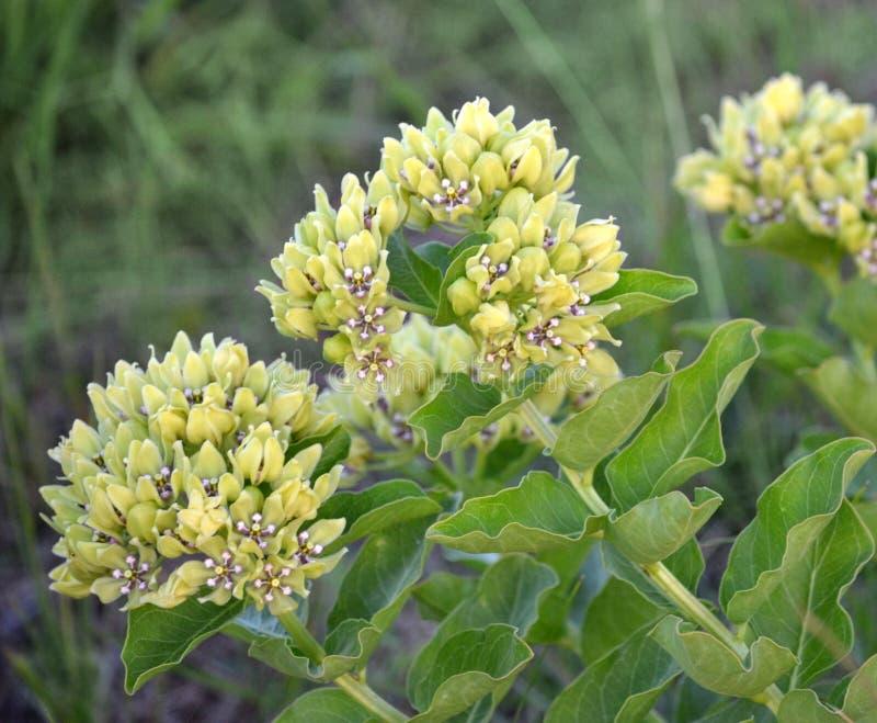 Flores verdes del Milkweed foto de archivo