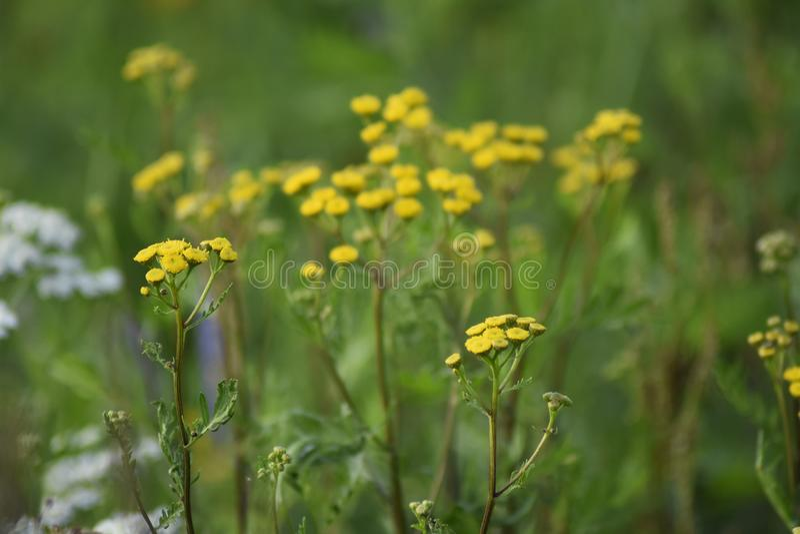Flores verdes do amarelo da largura do prado Os raios do sol iluminam o prado imagem de stock