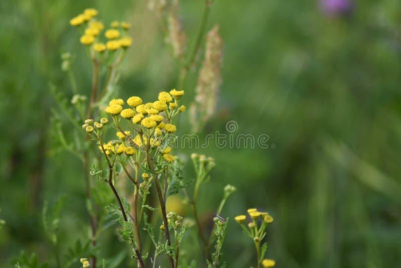 Flores verdes do amarelo da largura do prado Os raios do sol iluminam o prado fotos de stock