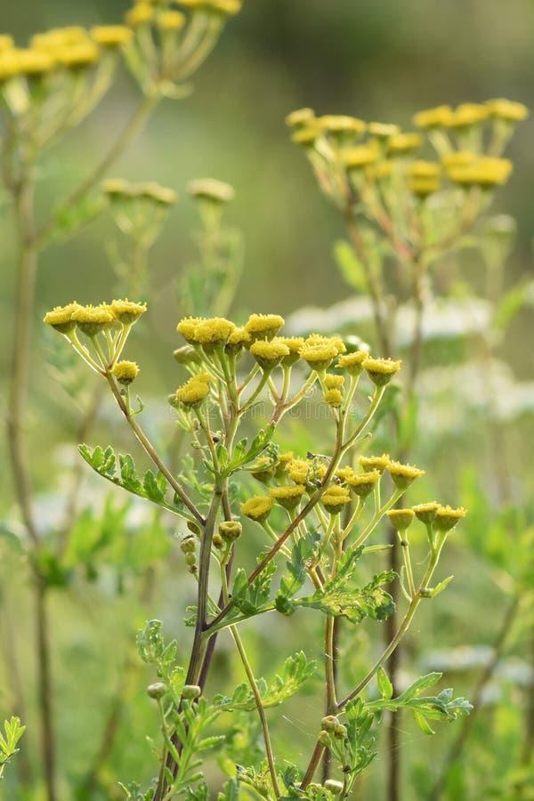 Flores verdes do amarelo da largura do prado Os raios do sol iluminam o prado fotos de stock royalty free