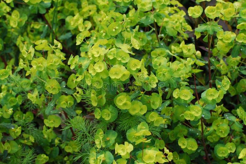 Flores verdes florecientes de la flor del euforbio imagen de archivo