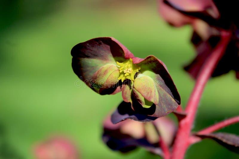 Flores verdes inusuales, purpurea de los amygdaloides del euforbio, fotografía de archivo libre de regalías