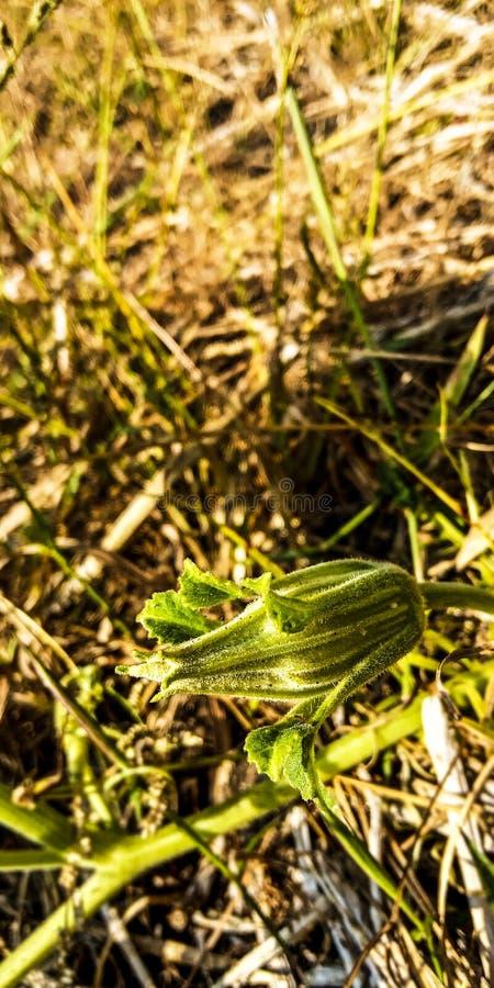 Flores verdes pequenas da planta do pepino fotos de stock royalty free