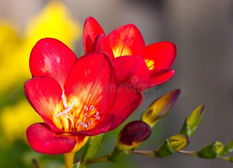 Flores vermelhas fotos de stock royalty free