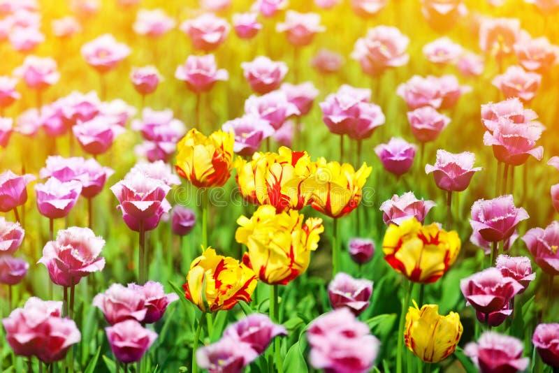 Flores vermelhas, amarelas e roxas das tulipas no fim borrado ensolarado do fundo acima, campo de florescência das tulipas do ver fotografia de stock