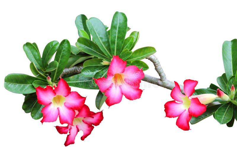 Flores vermelhas bonitas da azálea isoladas no branco fotos de stock royalty free