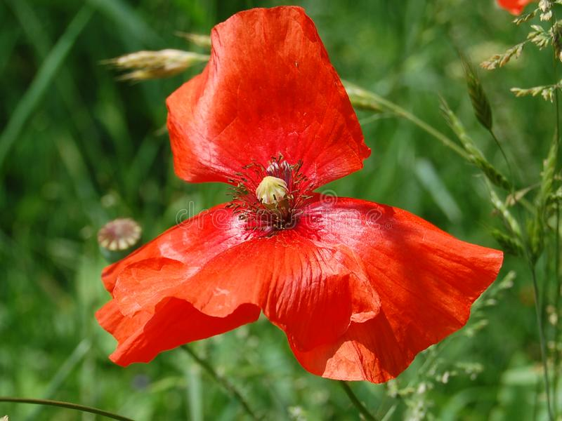 Flores vermelhas bonitas da papoila que florescem especialmente para uma menina imagens de stock royalty free