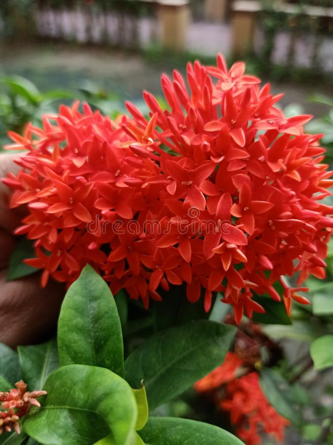 Flores vermelhas bonitas de Rangon encontradas em Bengal fotografia de stock royalty free