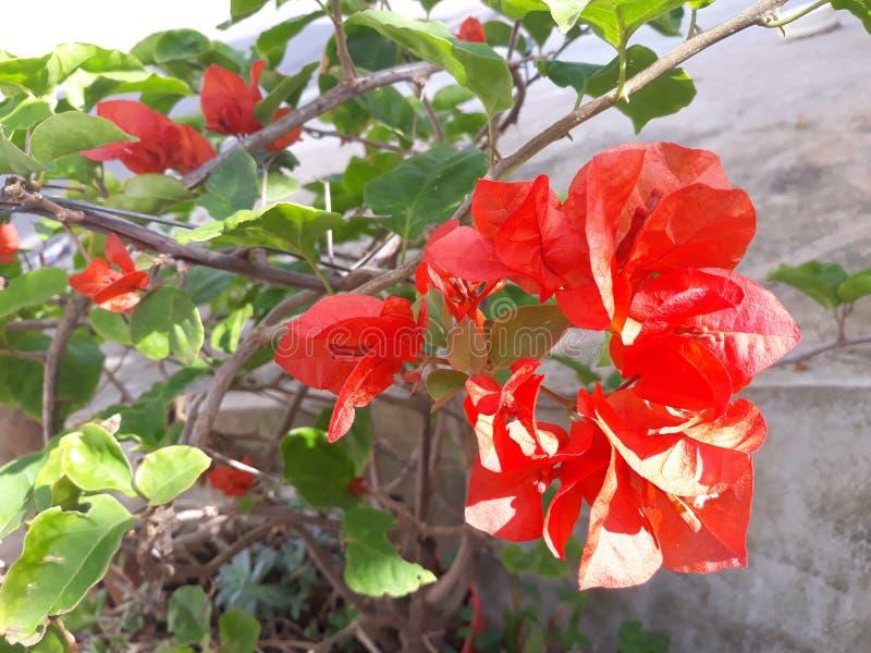 Flores vermelhas bonitas no jardim imagem de stock royalty free